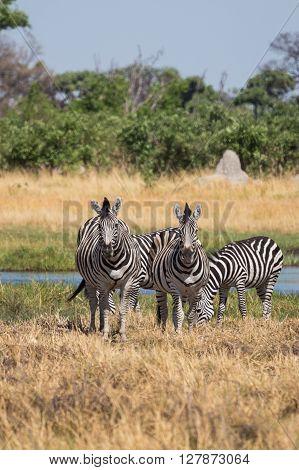 Zebras grazing in the Okavango Delta of Botswana Africa.