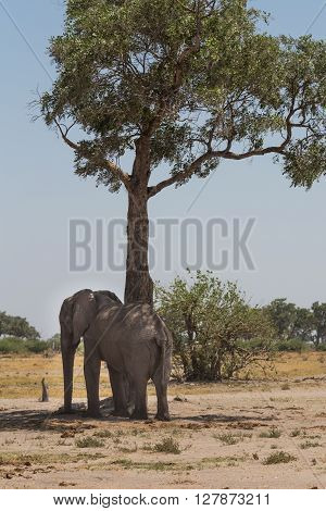 African bush elephant scratching its back on a tree in the Okavango Delta of Botswana Africa.
