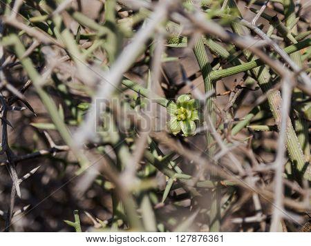 !Nara flower between thorns in the Namibian wastelands.