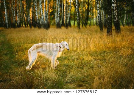 White Borzoi, Hunting dog in Spring Summer Forest. These dogs specialize in pursuing prey, keeping it in sight, and overpowering it by their great speed and agility