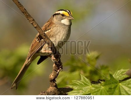 A photo of a White throated sparrow sitting on a branch