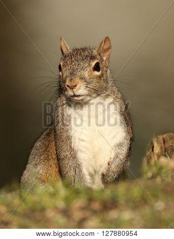 A portrait of a little gray squirrel