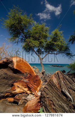Heliotropes And Ironwood Trees At Puako Beach - 3