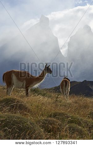 Guanaco (Lama guanicoe) grazing on a hillside in Torres del Paine National Park in the Magallanes region of southern Chile.