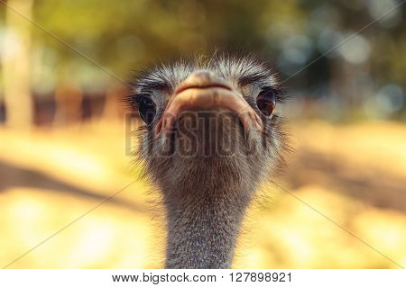 Closeup of ostrich head with blurred background. Vintage effect.