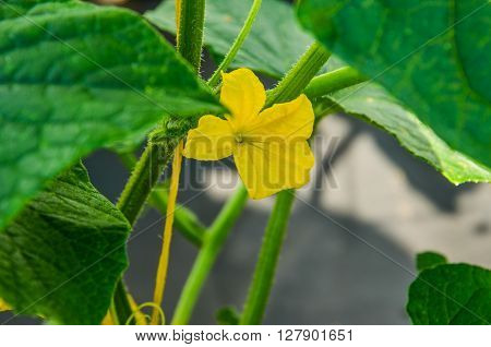 yellow flower of a cucumber with green leaves