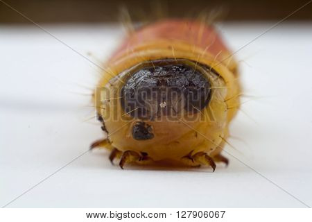 shot of maggot of chafer on white background