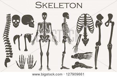 Human bones skeleton silhouette  collection set. High detailed Vector illustration