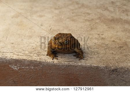 Frog on grey background, toad sitting on a concrete floor
