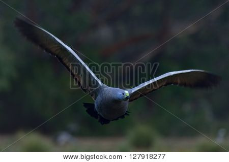 Cape Barren Goose is standing on the grass