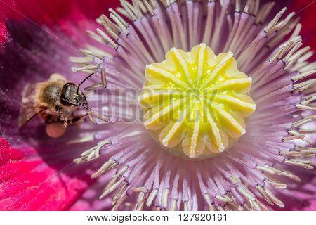Macro Shot Of Honey Bee Inside Poppy Flower