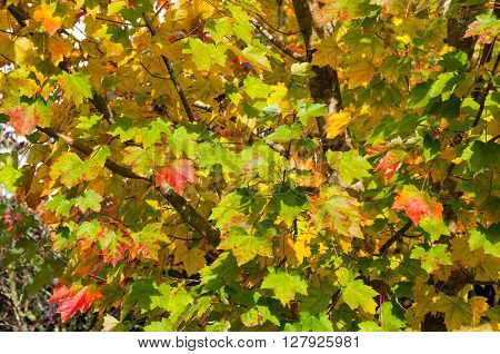 Autumn maple leaves texture. Yellow and green foliage of early fall season background wallpaper