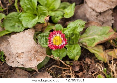 New life. Red flower with yellow center growing in the park among the dry leaves
