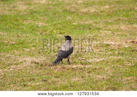Carrion Crow on green grass looking up