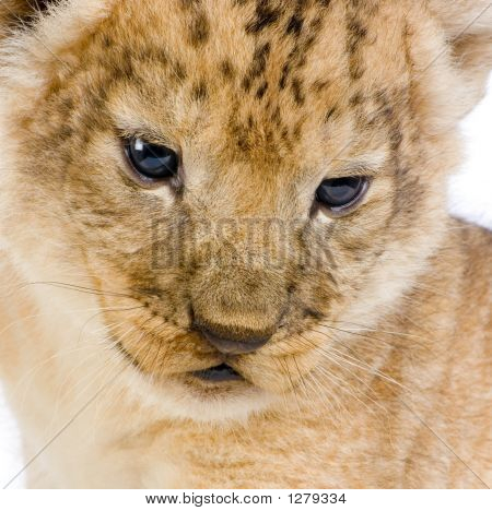 close-up on a lion cub (3 weeks) in front of a white background. all my pictures are taken in a photo studio. poster