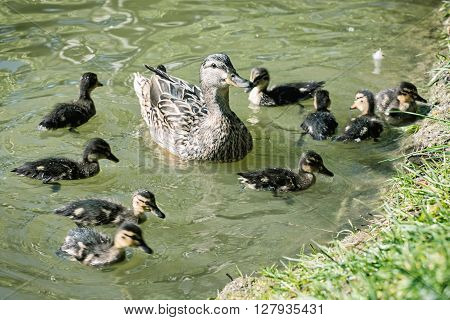 Wild Mallard Duck With Youngs – Anas Platyrhynchos In The Water, Beauty In Nature
