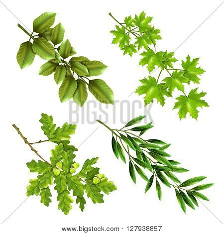 Realistic collection of green branches of deciduous trees with oak maple olive leaves isolated vector illustration