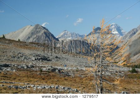 Lonely Larch