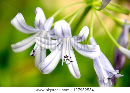 Close-up Beautiful White And Soft Purple Agapanthus Africanus Flower