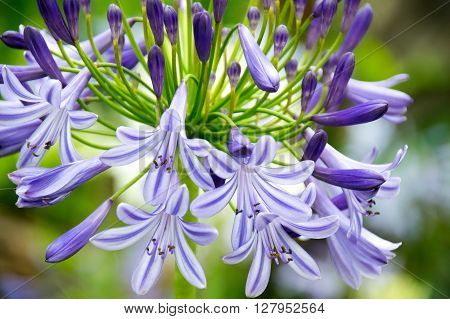Close-up Beautiful white and soft purple agapanthus africanus flower ** Note: Visible grain at 100%, best at smaller sizes