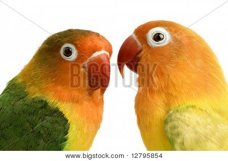 Peach-faced Lovebirdin  - Agapornis roseicollis or Lilian's Lovebird - Agapornis lilianae front of a white background