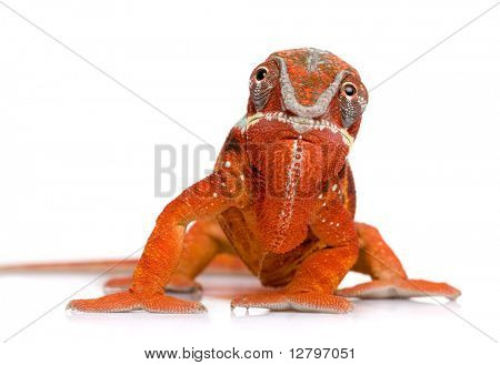 Chameleon Furcifer Pardalis - Sambava (2 years) in front of a white background poster