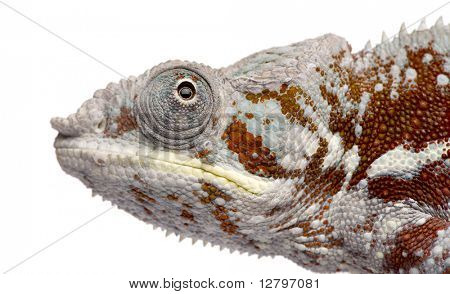 Chameleon Furcifer Pardalis - Masoala (4 years) in front of a white background