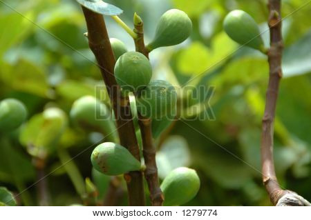 Figs On A Fig Tree In The Azores