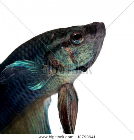 blue Siamese fighting fish  - Betta Splendens in front of a white background