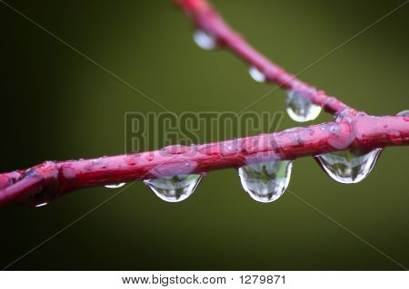 Water Drops On Tree Branch In Spring