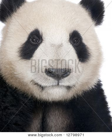 giant panda (18 months old )- Ailuropoda melanoleuca