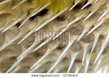 Close-up on a skin of a yellow Long-spine porcupinefish (fish) also know as spiny balloonfish - Diodon holocanthus in front of a white background