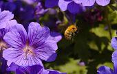 Honey bee in flight. may 2005 poster