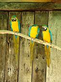 three macaw parrots on a branch pet series poster