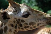 very close up detail of a giraffe's head kenya africa poster