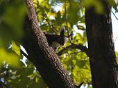 black squirrel among branch tree leaf  poster