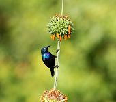 The purple sunbird is a small sunbird. Like other sunbirds they feed mainly on nectar, although they will also take insects especially when feeding young. These spectacular birds can be found in India poster