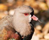 Head of waterbird southern lapwing Vanellus chilensis poster