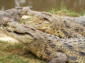 african crocodiles waiting by the river for food poster