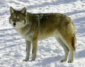 on a winter day a standing coyote is looking at the camera. poster