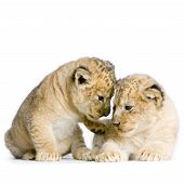 two lion cubs (3 weeks) in front of a white background. all my pictures are taken in a photo studio. poster