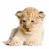 lion cub in front of a white background. all my pictures are taken in a photo studio. poster
