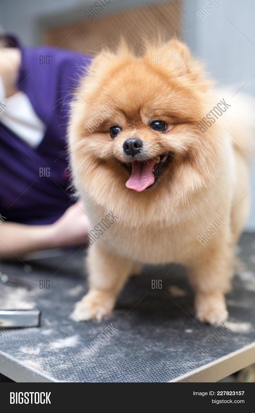Grooming Dog Haircut Image Photo Bigstock