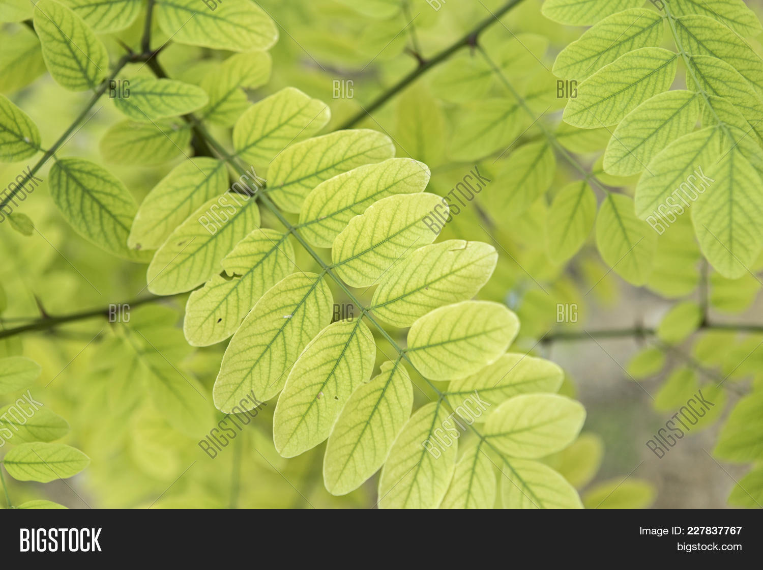 Acacia Leaves Summer Image Photo Free Trial Bigstock