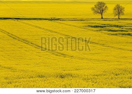 A Rapeseed Field Near Oswaldkirk In The Howardian Hills, North Yorkshire, England, Uk