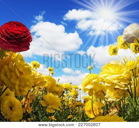 Magnificent large yellow garden buttercups - ranunculus bloom on a farm field. Light cumulus clouds fly in the sky. Warm day in May. Concept of ecological and rural tourism