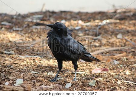 Black Raven.  Grounded.  Curious.  Side View.  Ruffled Feathers. poster