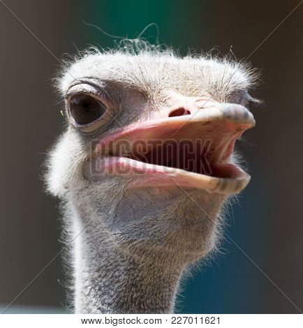 Portrait Of Ostrich On The Nature . In The Park In Nature