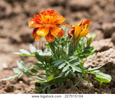 Beautiful Orange Flower In Nature . In The Park In Nature