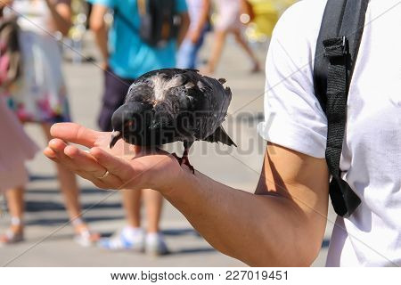 Pigeon Pecks Food From Hand On Famous St. Mark's Square In Venice, Italy